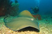 stock photo of stingray  - Stingray and scuba diver - JPG