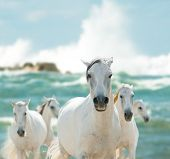 stock photo of lipizzaner  - white horses on the sea close up - JPG