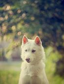 stock photo of husky  - clse up white husky in a park portrait - JPG