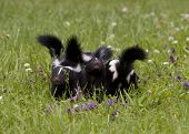 stock photo of skunk  - Baby skunk siblings together in a meadow - JPG