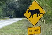 picture of panther  - Florida Panther crossing sign warns drivers in Florida Everglades of possible sightings - JPG