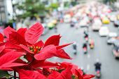 stock photo of poinsettias  - Poinsettia blooms giving warmth to traffic jam - JPG