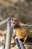 image of baby-monkey  - beautiful little monkey baby on asia temple staircase fence - JPG