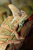 foto of chameleon  - veiled chameleon in terrarium as a pet  - JPG