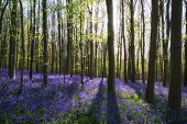 image of harebell  - Beautiful landscape of Spring bluebells in forest - JPG