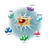 picture of fibroblast  - vector illustrations  - JPG