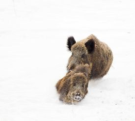 pic of boar  - Young wild boar running away from older wild boar on the snow - JPG