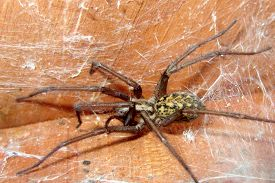 picture of hobo  - A poisonous Hobo Spider lurking in a corner - JPG