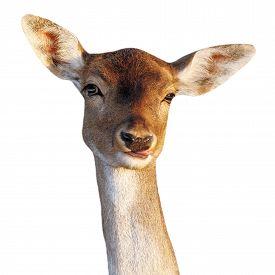 pic of deer  - fallow deer doe  - JPG