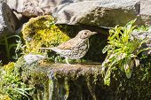 picture of brown thrush  - Mistle thrush having a water bath on a warm day - JPG
