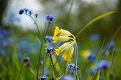 stock photo of cowslip  - Blossom cowslip close up with blue forget-me-not flowers in spring. ** Note: Shallow depth of field - JPG