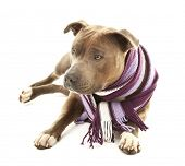 image of american staffordshire terrier  - American Staffordshire Terrier with colorful scarf isolated on white - JPG