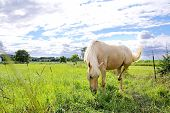 pic of stallion  - A Stallion Palomino Horse is grazing on grass in a farm pasture meadow - JPG