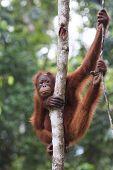 picture of orangutan  - Orangutan - JPG