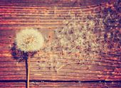 picture of weed  - several dandelion weeds on an aged wooden background toned with a retro vintage instagram filter effect app or action - JPG