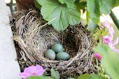 picture of three life  - blackbird nest with three green eggs on a windowsill - JPG