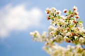 stock photo of wispy  - Isolated branch of blossoms shot with shallow depth of field against blue sky background with wispy white cloud on a bright - JPG