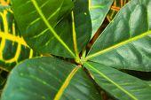 image of crotons  - Leaves of croton tree Codiaeum  - JPG