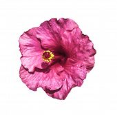 pic of hibiscus flower  - Pink hibiscus flower isolated on white with clipping path - JPG