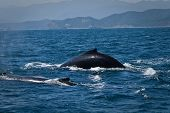 image of gentle giant  - Beautiful humpback whales in the coast of Ecuador - JPG