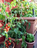 image of tomato plant  - red tomatoes and green basil plant in the terrace of house - JPG