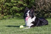 foto of toy dogs  - Border collie is lying on the lawn - JPG