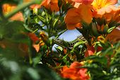 picture of lizard skin  - lizard that can be glimpsed between orangeFF flowers and and green leaves