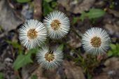 pic of dandelion seed  - Ripe dandelions distribute the seeds of its own - JPG