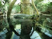pic of crocodilian  - Two Gavialis gangeticus in zoo an artificial pond - JPG