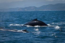 image of gentle giant  - Beautiful humpback whales in the coast of Ecuador - JPG