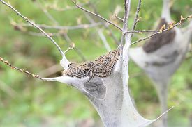 pic of moth  - The Eastern Tent Caterpillar  - JPG