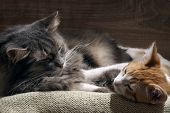 Domestic cats are sleeping comfortably poster