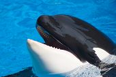 Killer Whale Is Having Fun