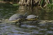 picture of cooter  - Common Cooter turtles resting and sunning on a log