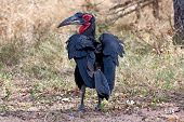 Ground Hornbill Walking On The Ground In Shade