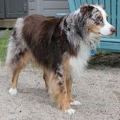 stock photo of australian shepherd  - Australian Shepherd after swimming in the lake - JPG