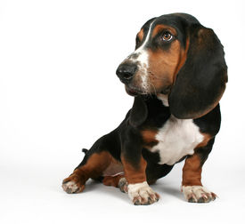 picture of baby animal  - a baby basset hound sitting on a white background - JPG