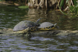 picture of cooter  - Common Cooter turtles resting and sunning on a log  - JPG
