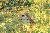 A Leopard, Panthera Pardus, Hiding Behind Mopani Bushes And Growling. Whiskers And Teeth Are Visible poster