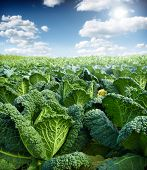 stock photo of hlorofil  - green kale - JPG