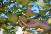 Close Up Shot Of Young Woman Hand Picking Fresh Organic Apple From Apple Tree In The Morning Orchard poster