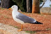 Seagull Resting On Dock. Seagull Standing On The Grass And Rest With A Beautiful Natural Environment poster