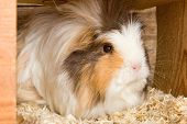 picture of guinea pig  - Portrait of a grey white guinea pig in a stable