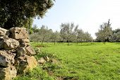 Olive Grove With Stone Fence. Concept Of Olives. Olive Growing. View Of An Olive Grove Before Harves poster