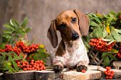 Dachshunds dog and rowan berry , autumn background poster