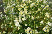 Frost Asters (symphyotrichum Pilosum), Also Called Hair Asters And Hairy White Oldfield Asters, Bloo poster