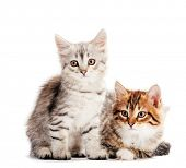 Siberian cats, portrait of two kittens from same litter isolated on white background. Purebred poster