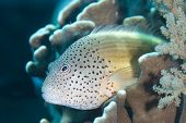 picture of hawkfish  - Close - JPG