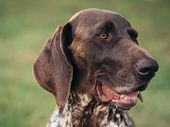 German pointer dog portrait with shallow depth of field poster