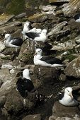 picture of albatross  - The most beautiful Albatross of the World - JPG